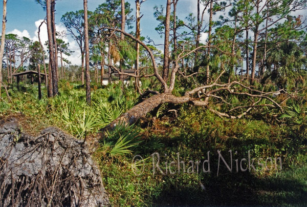 felled pine after 04 hurricane