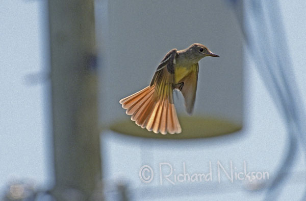 great crested fly-catcher