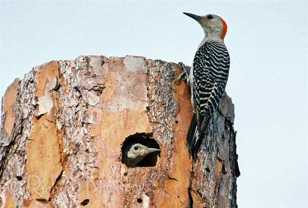 red-bellied woodpecker and chick