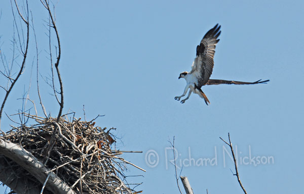 ospery landing on nest