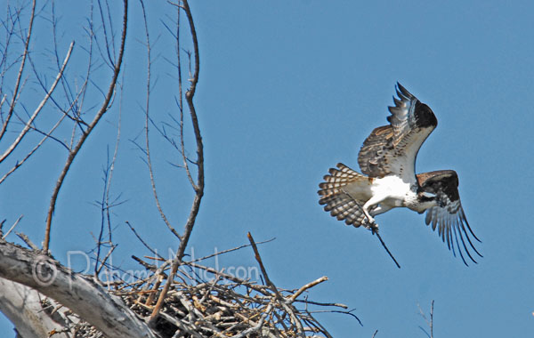 ospery nest building