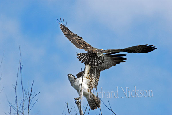 immature & adult osprey