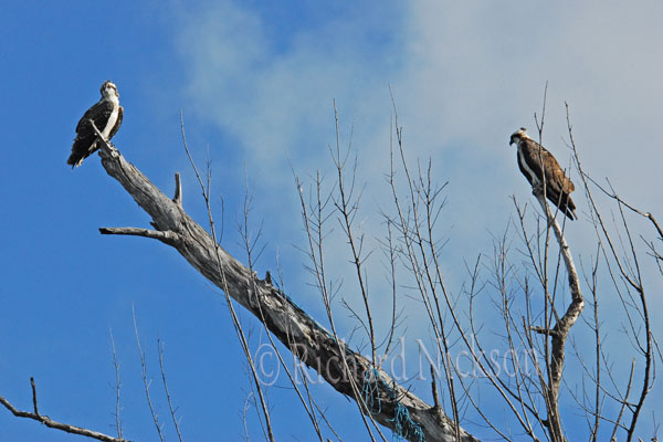 adult & immature osprey