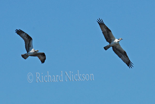 two osprey in flight