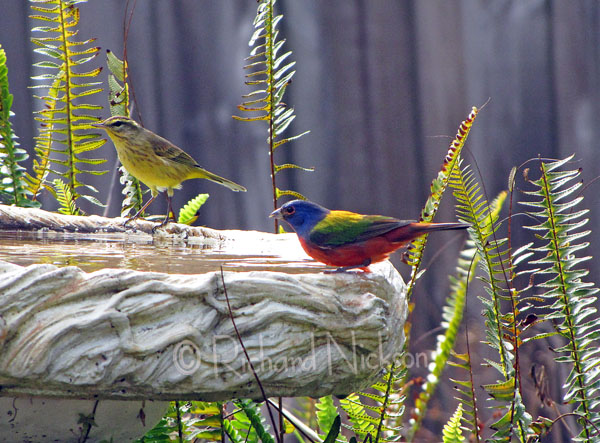 palm warbler & painted bunting